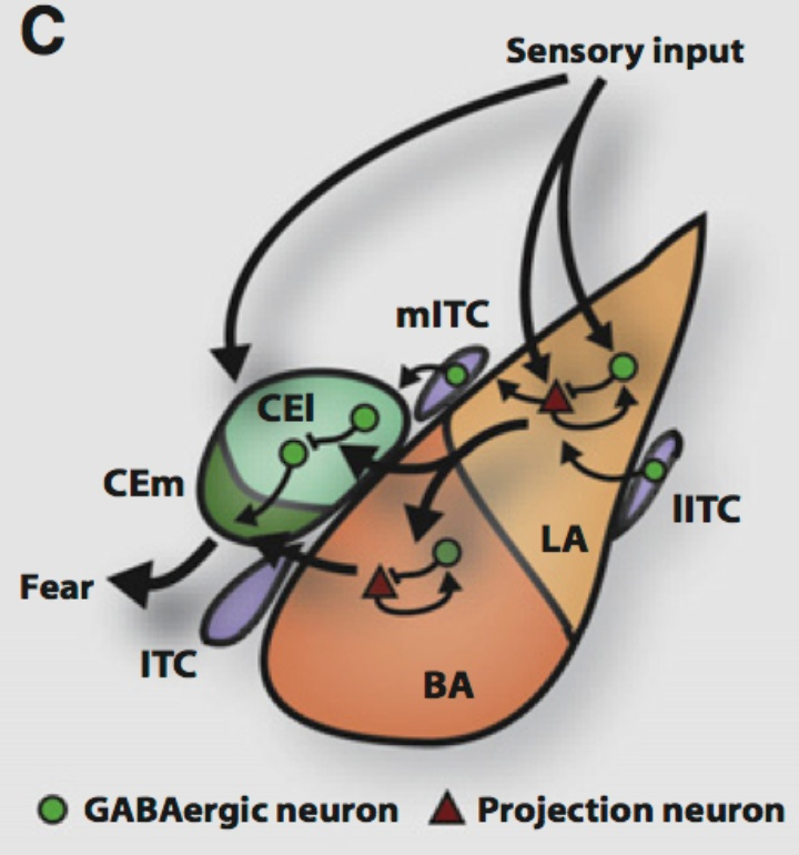 Schematic of the amygdala with its different subdivisions illustrating the flow of information in amygdala circuits. (c) Ehrlich et al, Neuron 2009