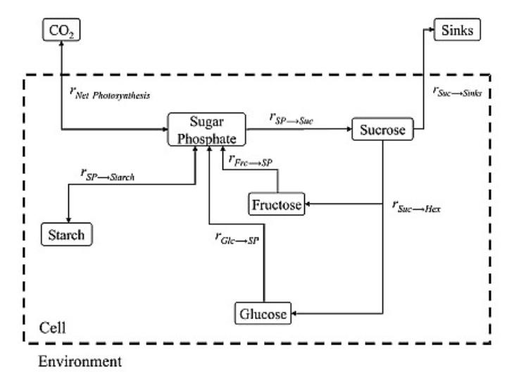 metabolic model (c)