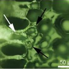 Micocoelia edulisaerial roo